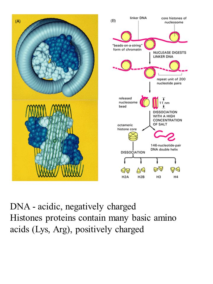 DNA - acidic, negatively charged Histones proteins contain many basic amino acids (Lys, Arg), positively charged