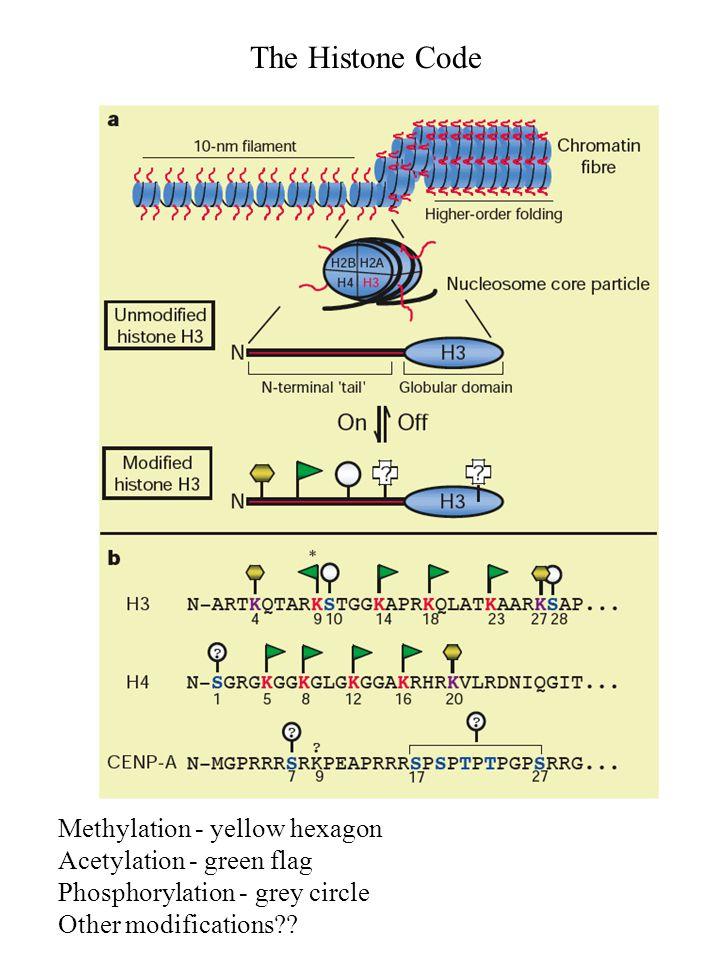 Methylation - yellow hexagon Acetylation - green flag Phosphorylation - grey circle Other modifications?? The Histone Code