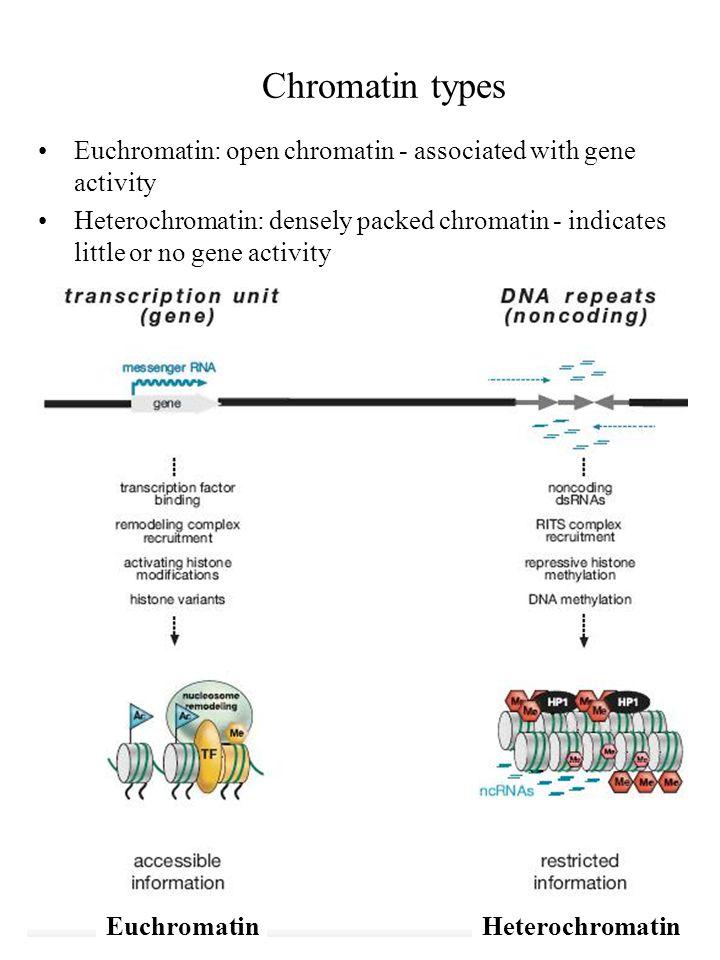 Chromatin types Euchromatin: open chromatin - associated with gene activity Heterochromatin: densely packed chromatin - indicates little or no gene activity EuchromatinHeterochromatin
