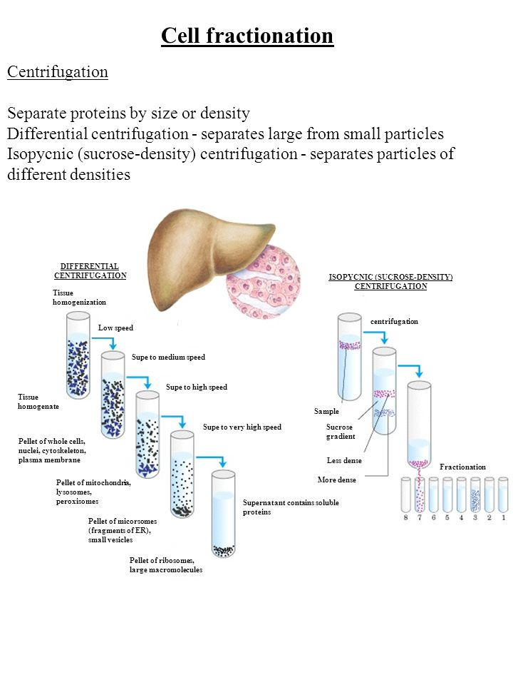 Cell fractionation Centrifugation Separate proteins by size or density Differential centrifugation - separates large from small particles Isopycnic (sucrose-density) centrifugation - separates particles of different densities Low speed Tissue homogenization DIFFERENTIAL CENTRIFUGATION Supe to medium speed Tissue homogenate Supe to high speed Pellet of whole cells, nuclei, cytoskeleton, plasma membrane Pellet of mitochondria, lysosomes, peroxisomes Pellet of micorsomes (fragments of ER), small vesicles Pellet of ribosomes, large macromolecules Supe to very high speed Supernatant contains soluble proteins ISOPYCNIC (SUCROSE-DENSITY) CENTRIFUGATION centrifugation Sample Sucrose gradient Less dense More dense Fractionation