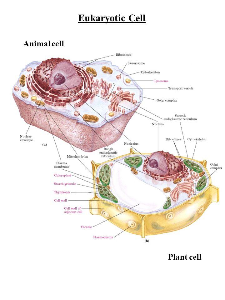 Nuclear material Prokaryotes - circular DNA: