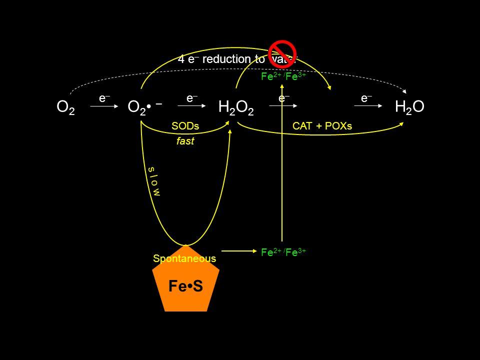 O2 –O2 – O2O2 H2O2H2O2 OH H2OH2O 4 e – reduction to water e–e– e–e– e–e– e–e– CAT + POXsSODs Fe 2+ / Fe 3+ fast s l o w FeS Spontaneous