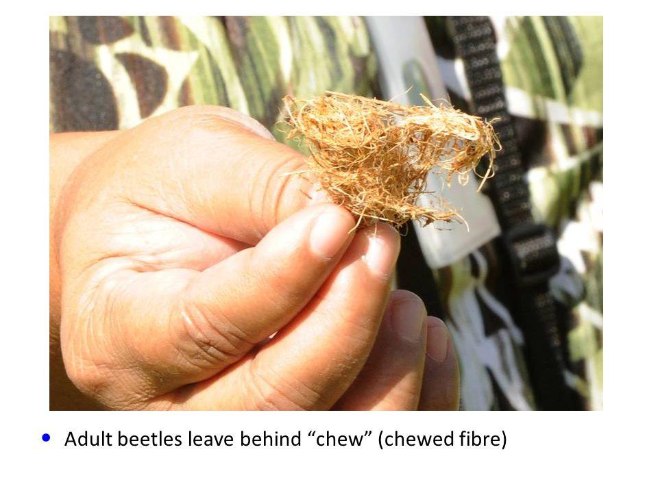 Adult beetles leave behind chew (chewed fibre)
