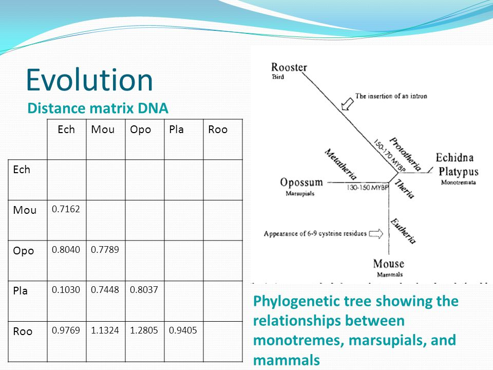 Evolution Distance matrix DNA P Phylogenetic tree showing the relationships between monotremes, marsupials, and mammals EchMouOpoPlaRoo Ech Mou 0.7162