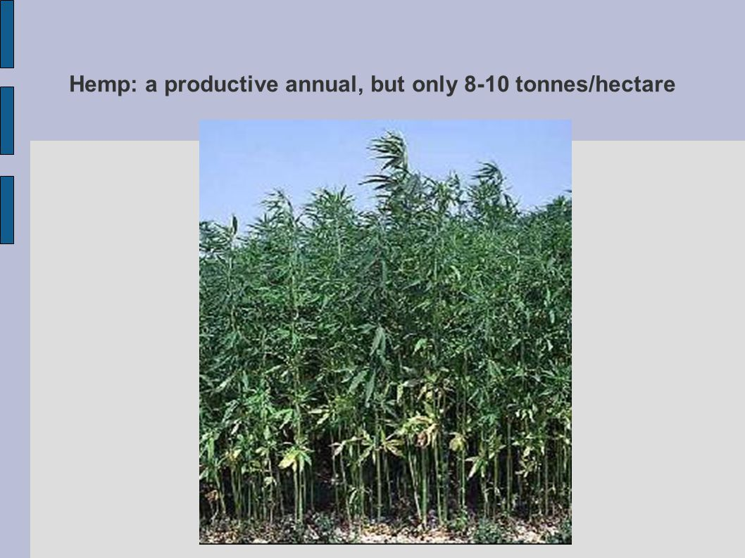 Hemp: a productive annual, but only 8-10 tonnes/hectare