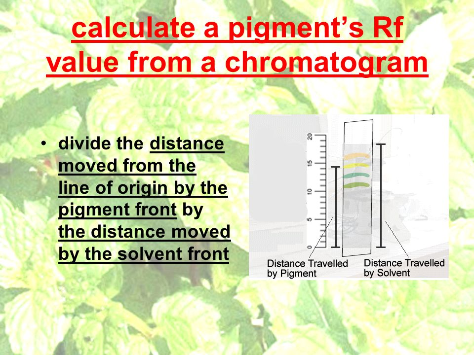 calculate a pigment's Rf value from a chromatogram divide the distance moved from the line of origin by the pigment front by the distance moved by the