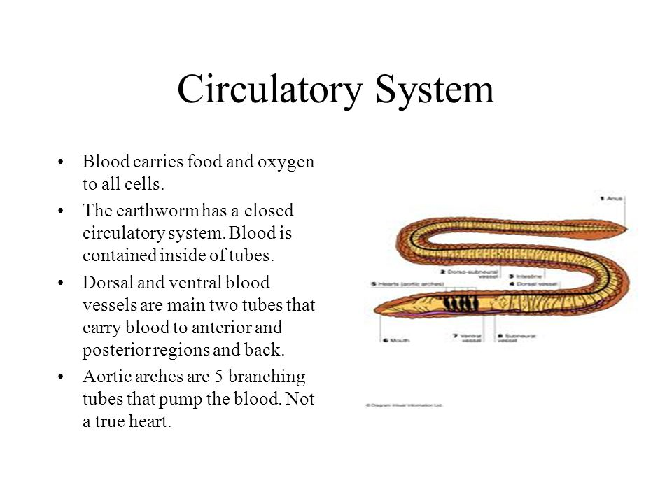Circulatory System Blood carries food and oxygen to all cells.