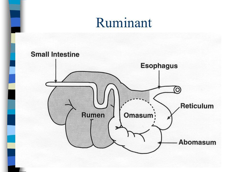 Monogastric w/ Functional Cecum