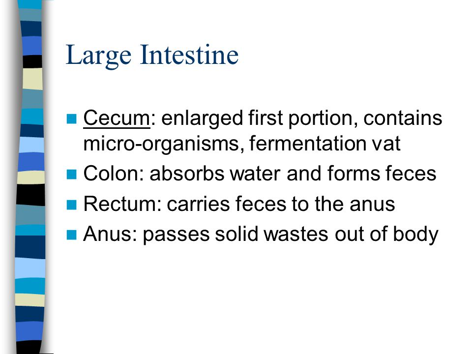 Small Intestine Duodenum: first portion, continues digestion Jejunum & Ileum: rest, performs absorption of nutrients into the bloodstream