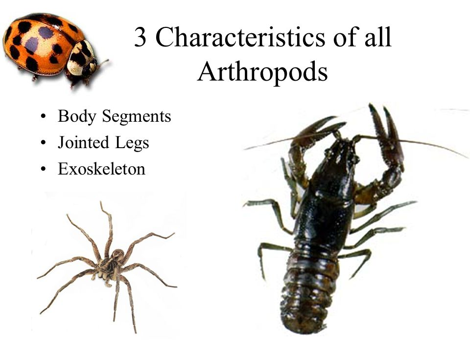 3 Characteristics of all Arthropods Body Segments Jointed Legs Exoskeleton