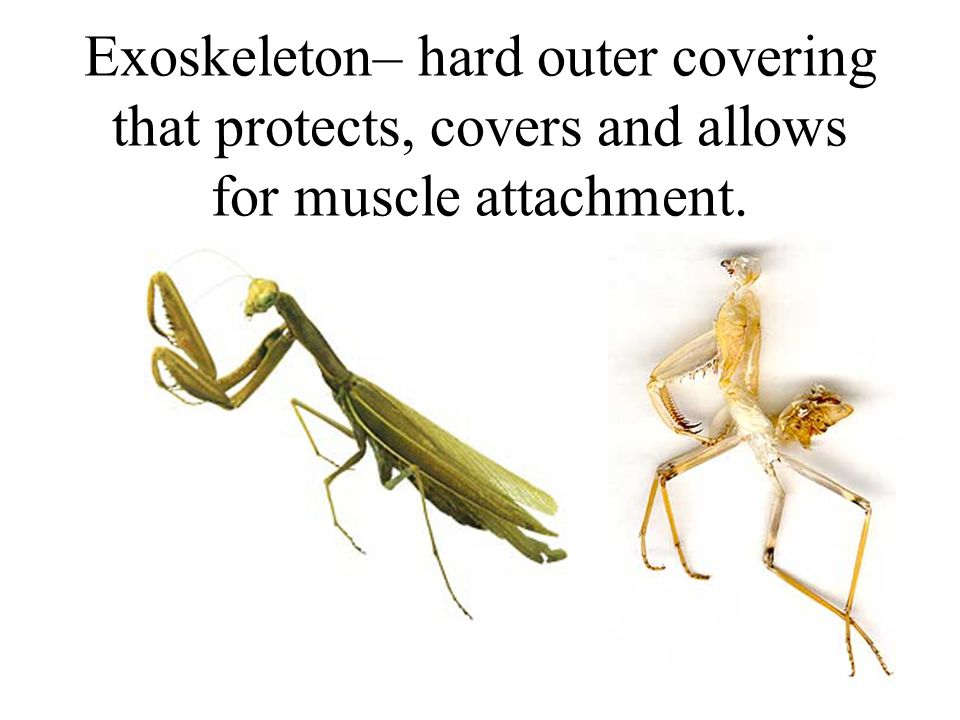 Exoskeleton– hard outer covering that protects, covers and allows for muscle attachment.