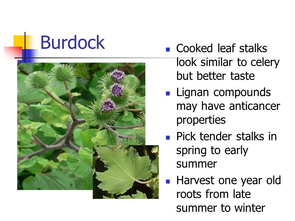 Burdock Cooked leaf stalks look similar to celery but better taste Lignan compounds may have anticancer properties Pick tender stalks in spring to early summer Harvest one year old roots from late summer to winter