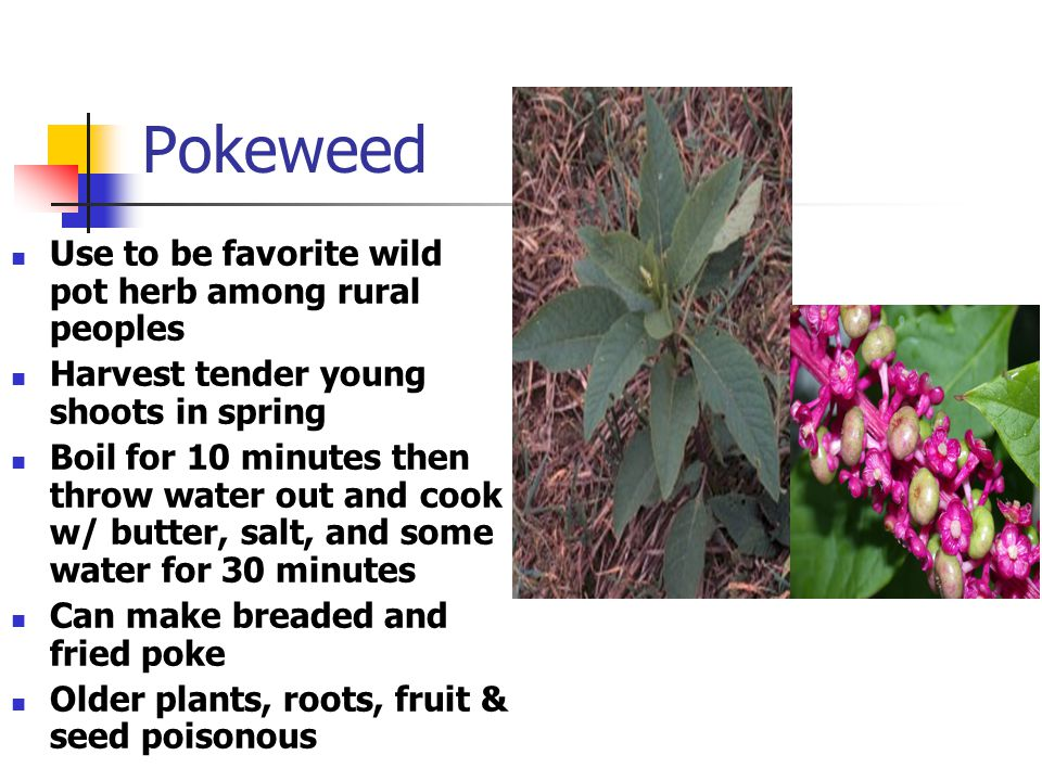 Pokeweed Use to be favorite wild pot herb among rural peoples Harvest tender young shoots in spring Boil for 10 minutes then throw water out and cook w/ butter, salt, and some water for 30 minutes Can make breaded and fried poke Older plants, roots, fruit & seed poisonous