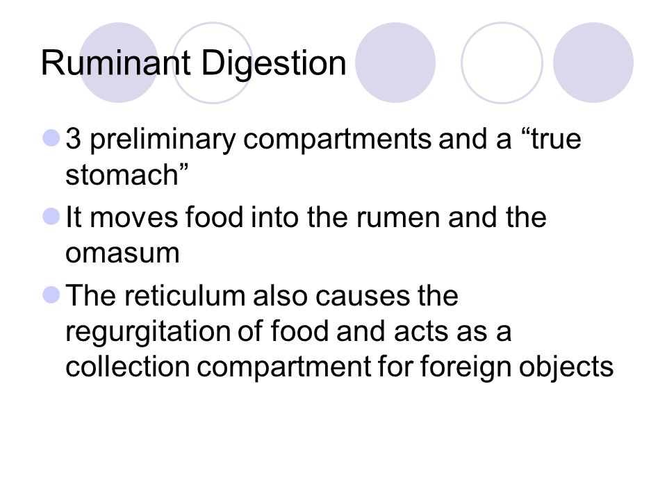 "Ruminant Digestion 3 preliminary compartments and a ""true stomach"" It moves food into the rumen and the omasum The reticulum also causes the regurgita"