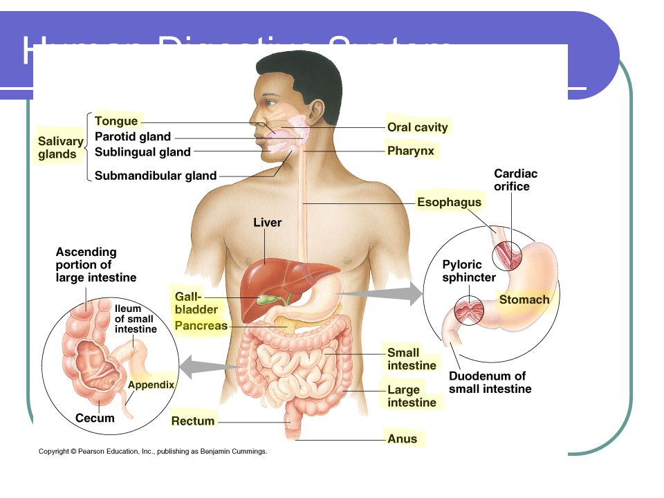 Mouth– physical and chemical digestion Teeth grind food into smaller pieces to increase surface area 3 pairs of Salivary glands secrete saliva Moistens food Starch amylase maltose (polysaccharide) (disaccharide)