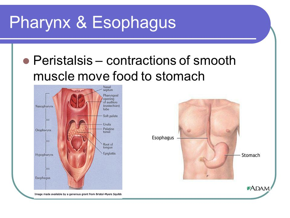 Pharynx & Esophagus Peristalsis – contractions of smooth muscle move food to stomach