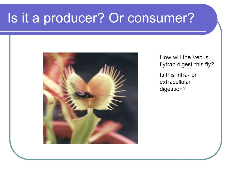 Is it a producer. Or consumer. How will the Venus flytrap digest this fly.