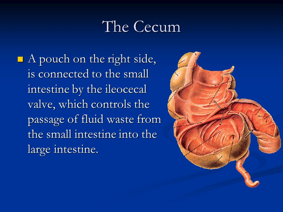 The Cecum A pouch on the right side, is connected to the small intestine by the ileocecal valve, which controls the passage of fluid waste from the small intestine into the large intestine.