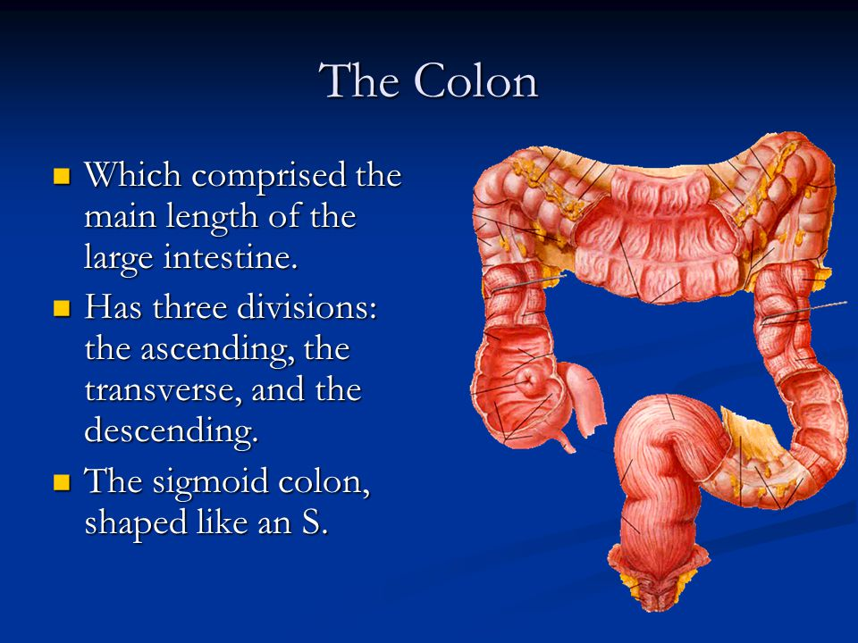 The Colon Which comprised the main length of the large intestine.