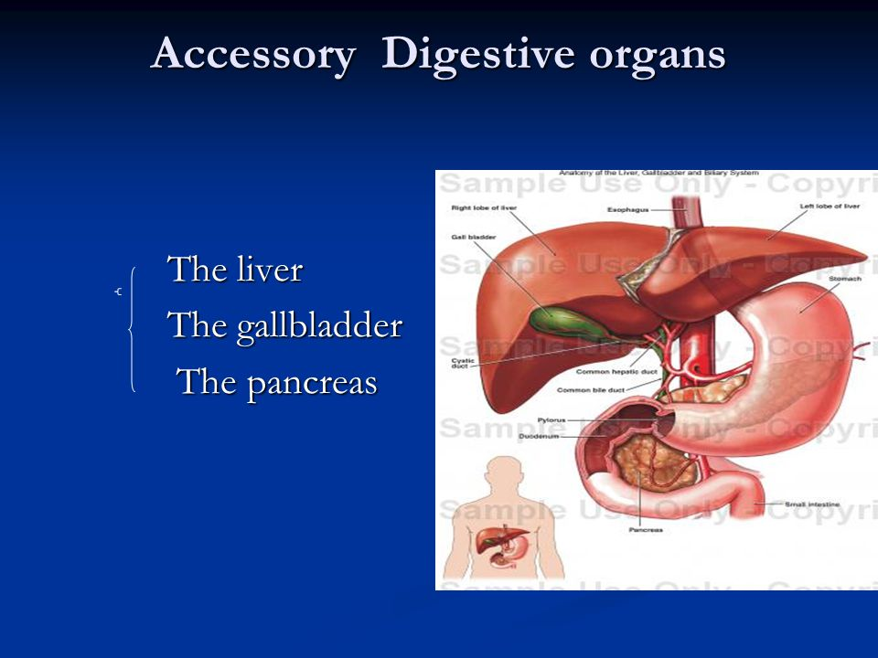 Accessory Digestive organs The liver The liver The gallbladder The gallbladder The pancreas The pancreas