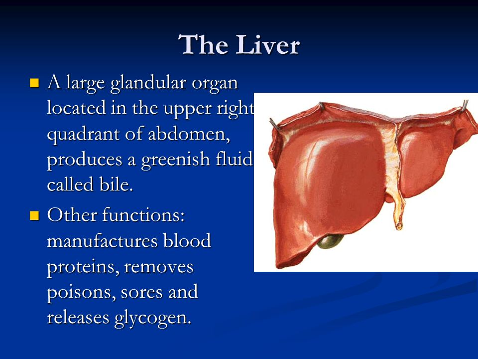 The Liver A large glandular organ located in the upper right quadrant of abdomen, produces a greenish fluid called bile. A large glandular organ locat