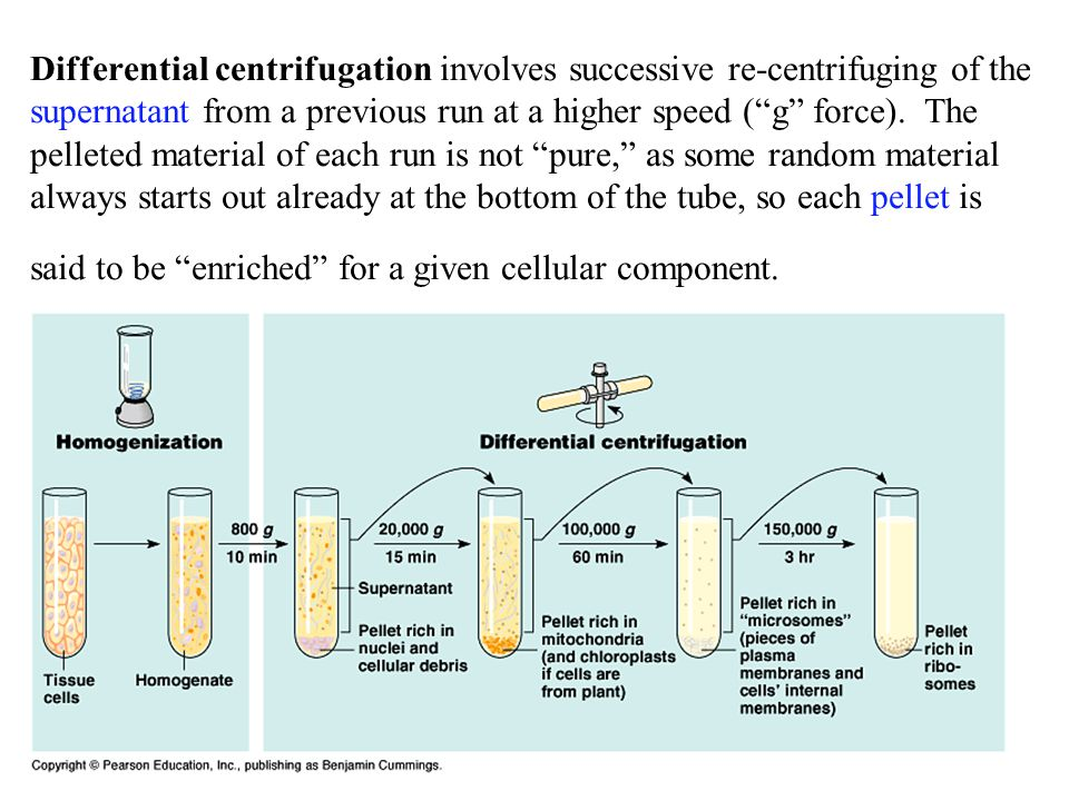 Differential centrifugation involves successive re-centrifuging of the supernatant from a previous run at a higher speed ( g force).