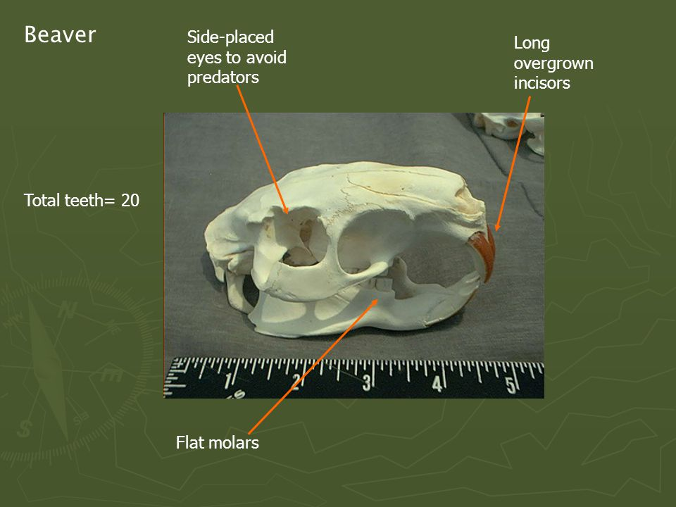 Beaver Total teeth= 20 Side-placed eyes to avoid predators Flat molars Long overgrown incisors