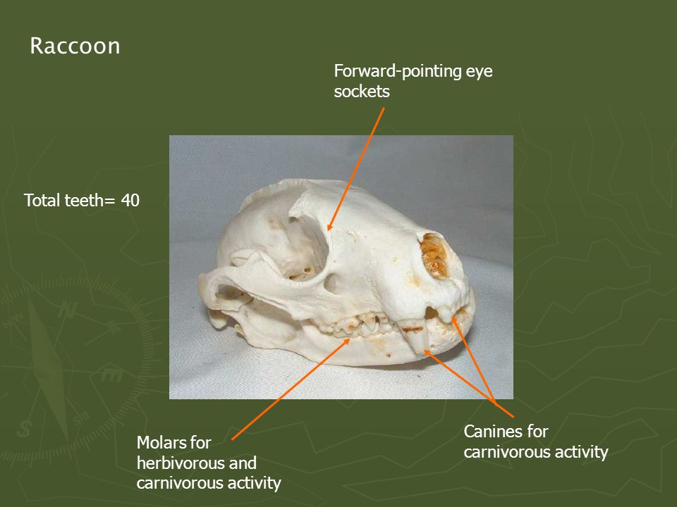 Raccoon Forward-pointing eye sockets Molars for herbivorous and carnivorous activity Canines for carnivorous activity Total teeth= 40