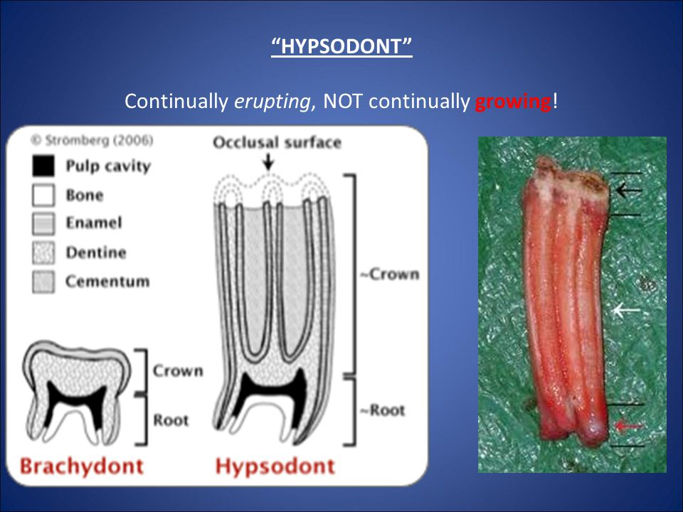 HYPSODONT Continually erupting, NOT continually growing!