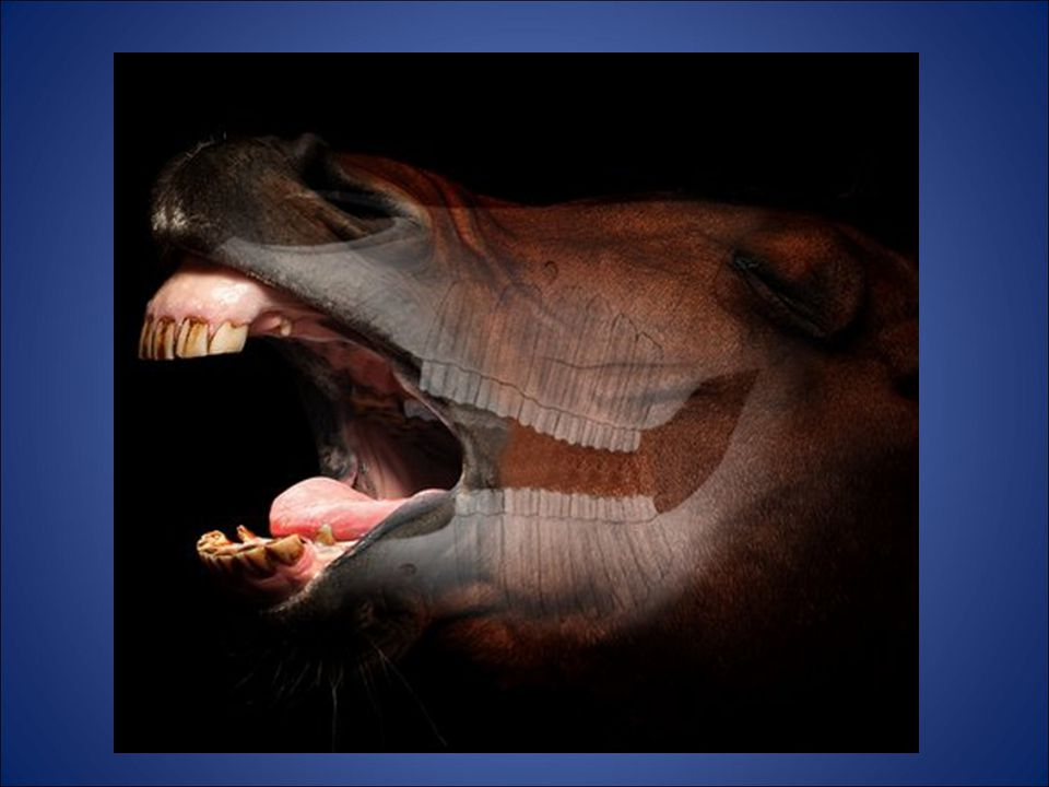 K9 teeth -For defense **NOT WOLF TEETH** TMJ -Very Nerve Dense -Boxers getting Knocked out Wolf Teeth (if present) -More common in mares -Usually removed at castration Basic Anatomy