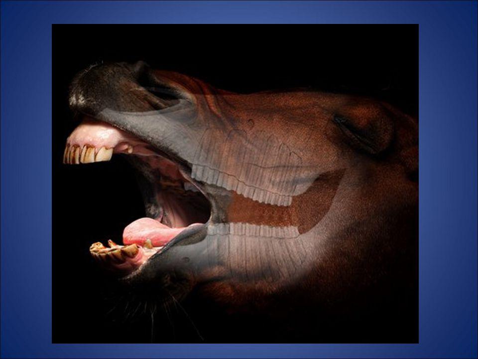 Equine Dental Balancing How we help horse's teeth last as long as possible.