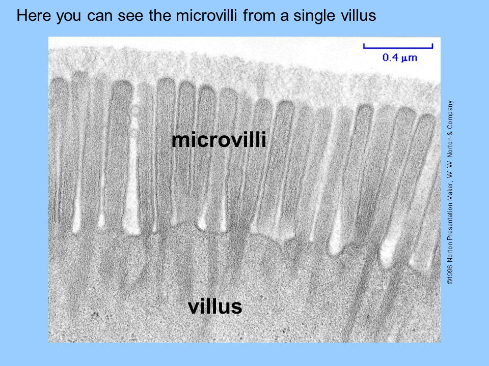 ©1996 Norton Presentation Maker, W. W. Norton & Company Here you can see the microvilli from a single villus villus microvilli