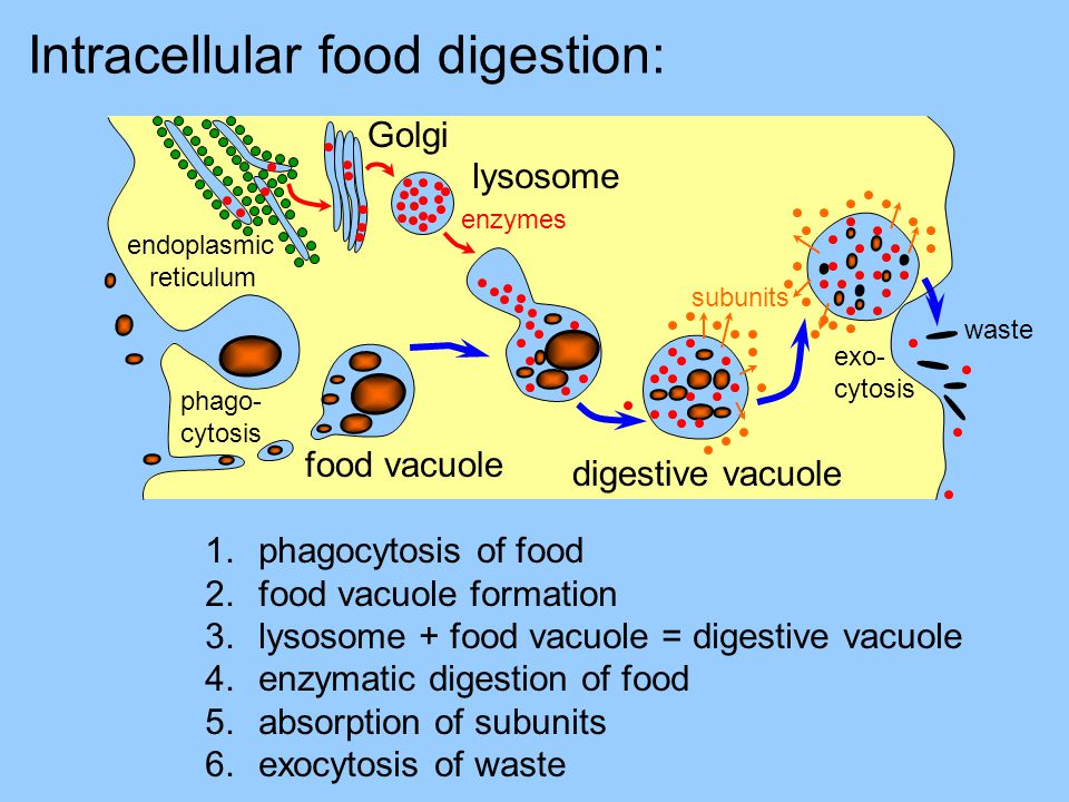 lysosome Golgi endoplasmic reticulum food vacuole digestive vacuole exo- cytosis subunits enzymes waste Intracellular food digestion: phago- cytosis 1