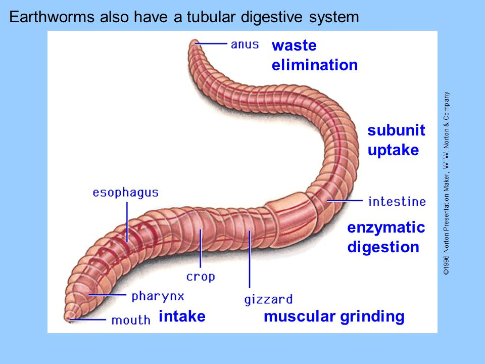 ©1996 Norton Presentation Maker, W. W. Norton & Company Earthworms also have a tubular digestive system intakemuscular grinding enzymatic digestion su