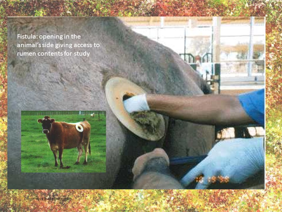 Fistula: opening in the animal's side giving access to rumen contents for study Cooperative extension system
