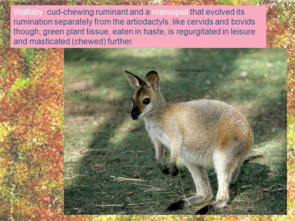 National Geographic Wallaby: cud-chewing ruminant and a marsupial that evolved its rumination separately from the artiodactyls: like cervids and bovids though, green plant tissue, eaten in haste, is regurgitated in leisure and masticated (chewed) further.