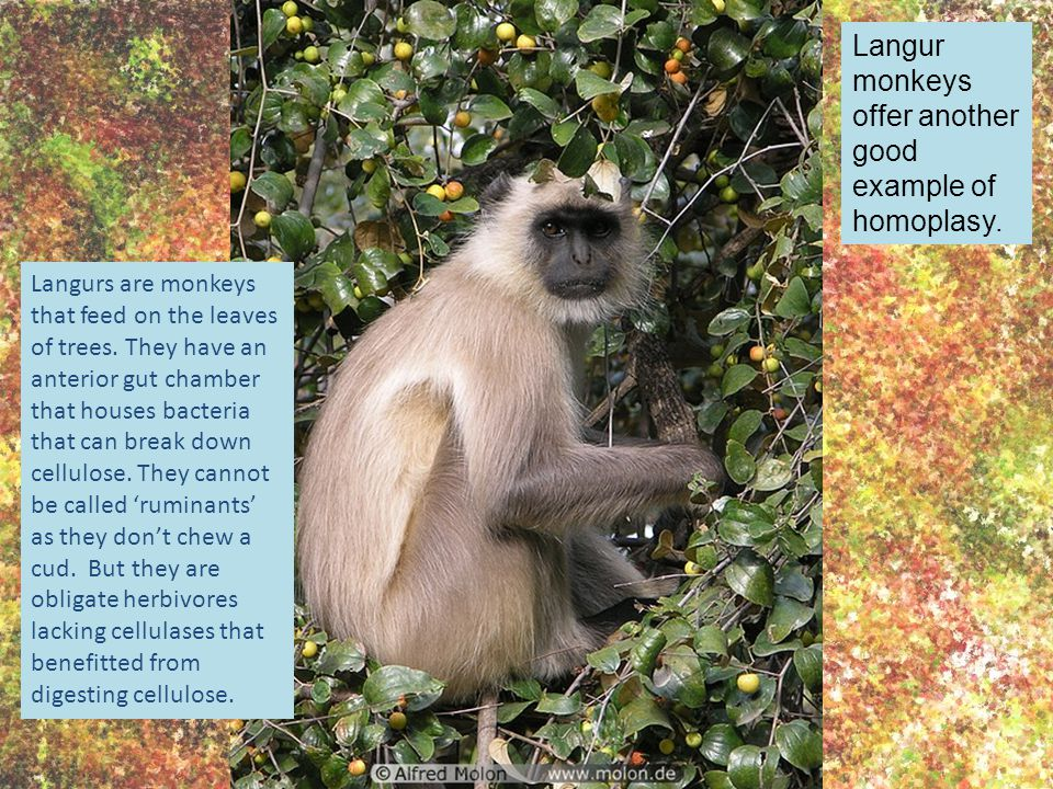 Langur monkeys offer another good example of homoplasy. Langurs are monkeys that feed on the leaves of trees. They have an anterior gut chamber that h
