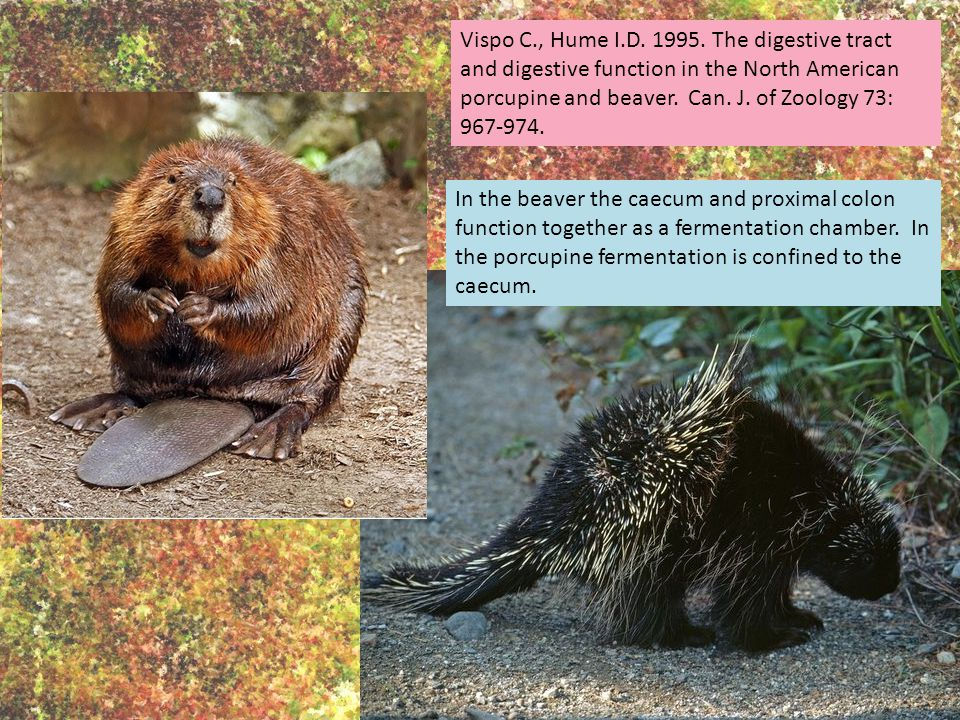 Vispo C., Hume I.D. 1995. The digestive tract and digestive function in the North American porcupine and beaver. Can. J. of Zoology 73: 967-974. In th