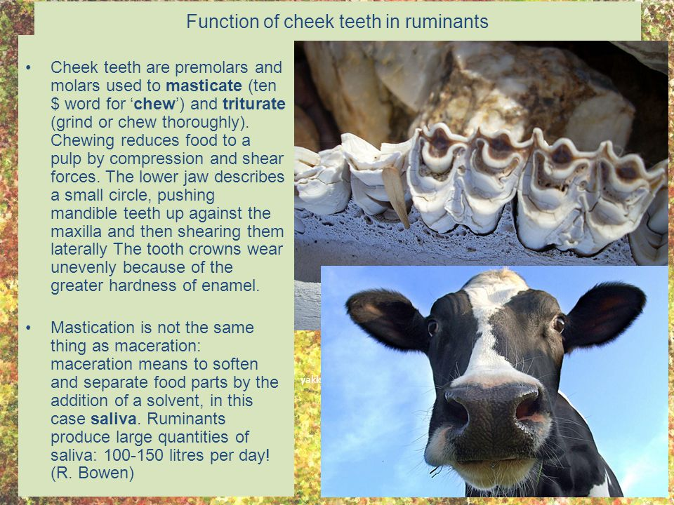 Function of cheek teeth in ruminants Cheek teeth are premolars and molars used to masticate (ten $ word for 'chew') and triturate (grind or chew thoro