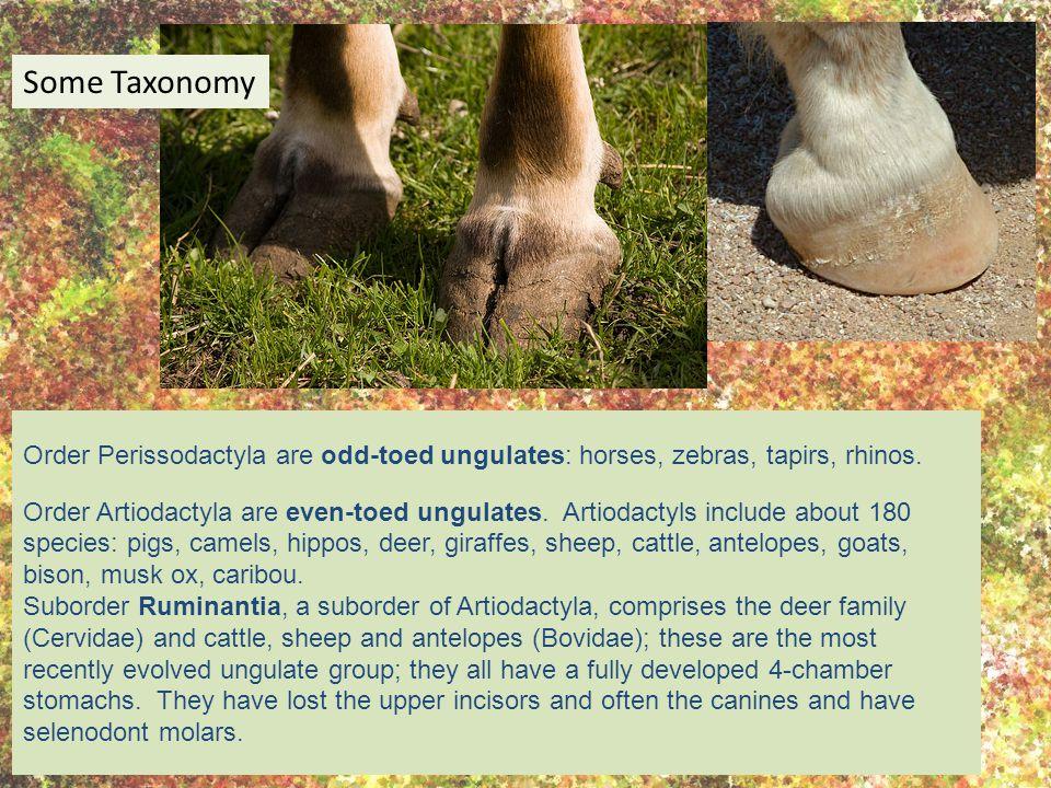 Order Perissodactyla are odd-toed ungulates: horses, zebras, tapirs, rhinos.