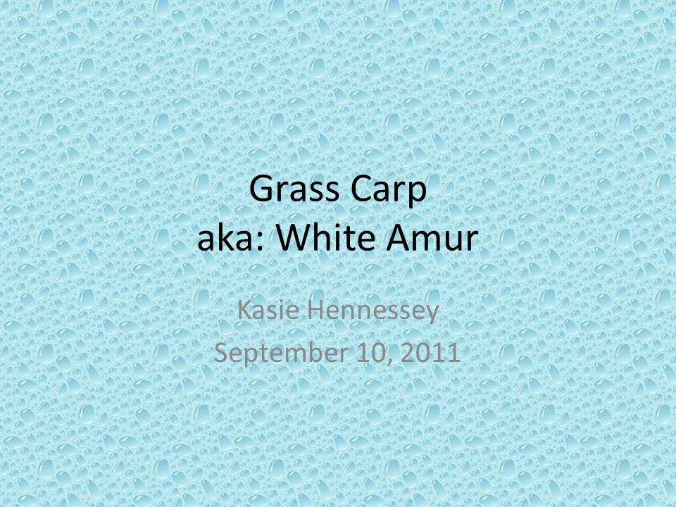 Grass Carp aka: White Amur Kasie Hennessey September 10, 2011