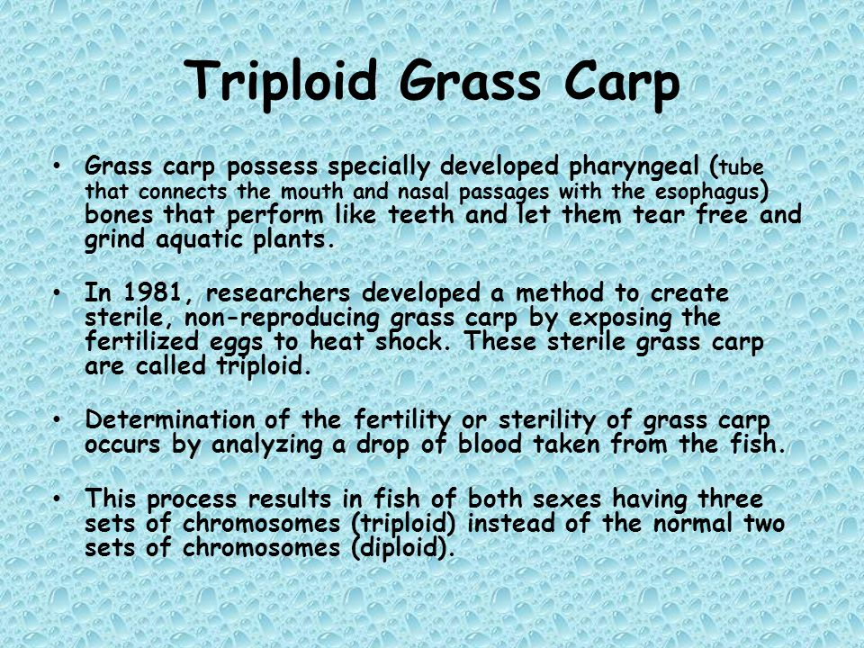 Triploid Grass Carp Grass carp possess specially developed pharyngeal ( tube that connects the mouth and nasal passages with the esophagus ) bones tha
