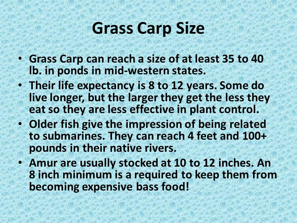 Grass Carp Size Grass Carp can reach a size of at least 35 to 40 lb. in ponds in mid-western states. Their life expectancy is 8 to 12 years. Some do l
