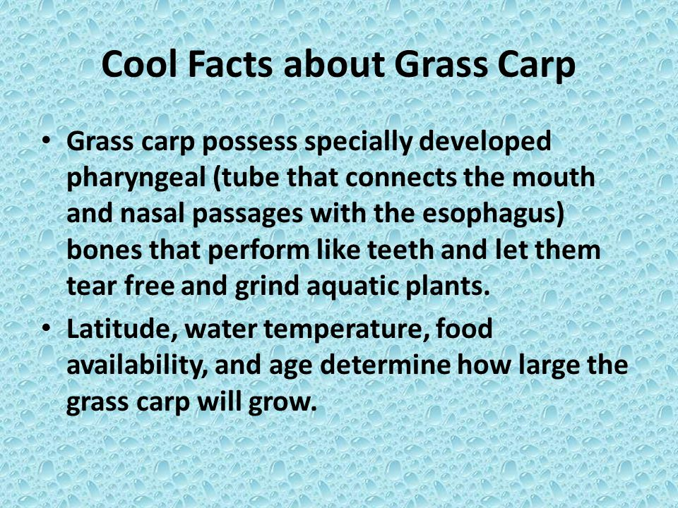 Cool Facts about Grass Carp Grass carp possess specially developed pharyngeal (tube that connects the mouth and nasal passages with the esophagus) bon