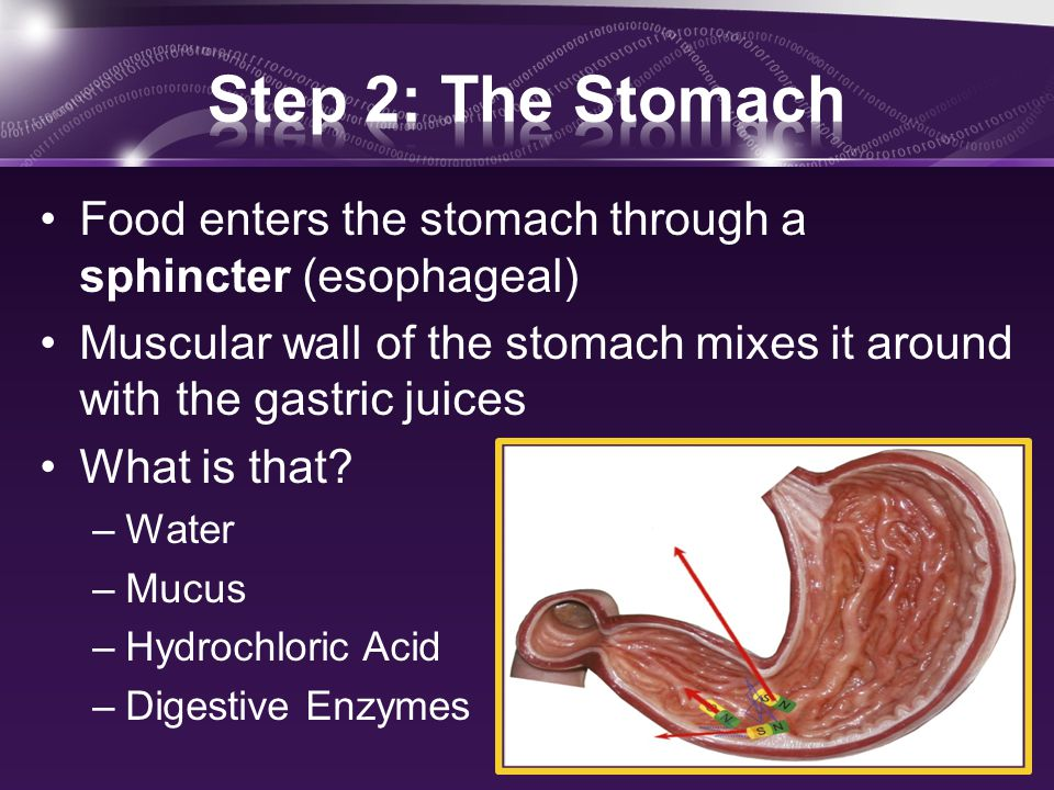 Food enters the stomach through a sphincter (esophageal) Muscular wall of the stomach mixes it around with the gastric juices What is that.