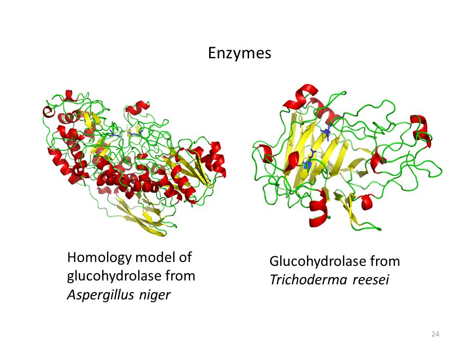 24 Enzymes Homology model of glucohydrolase from Aspergillus niger Glucohydrolase from Trichoderma reesei