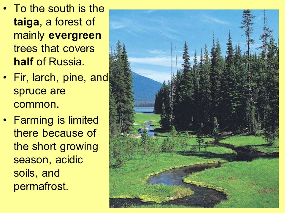 To the south is the taiga, a forest of mainly evergreen trees that covers half of Russia. Fir, larch, pine, and spruce are common. Farming is limited