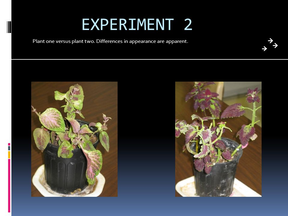 EXPERIMENT 2 Plant one versus plant two. Differences in appearance are apparent.