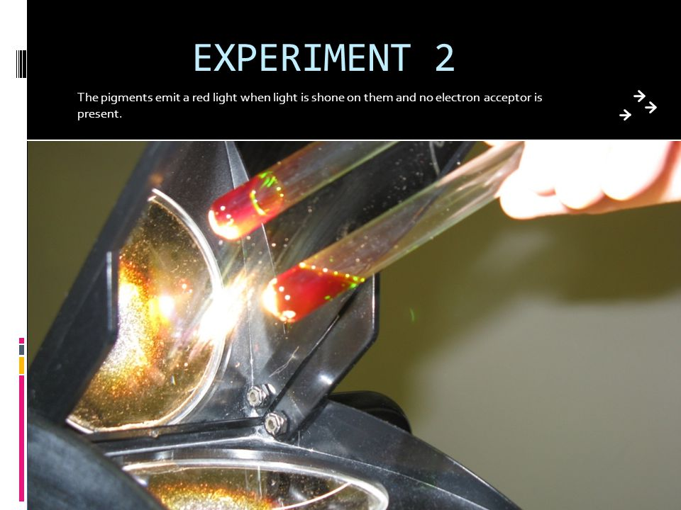 EXPERIMENT 2 The pigments emit a red light when light is shone on them and no electron acceptor is present.