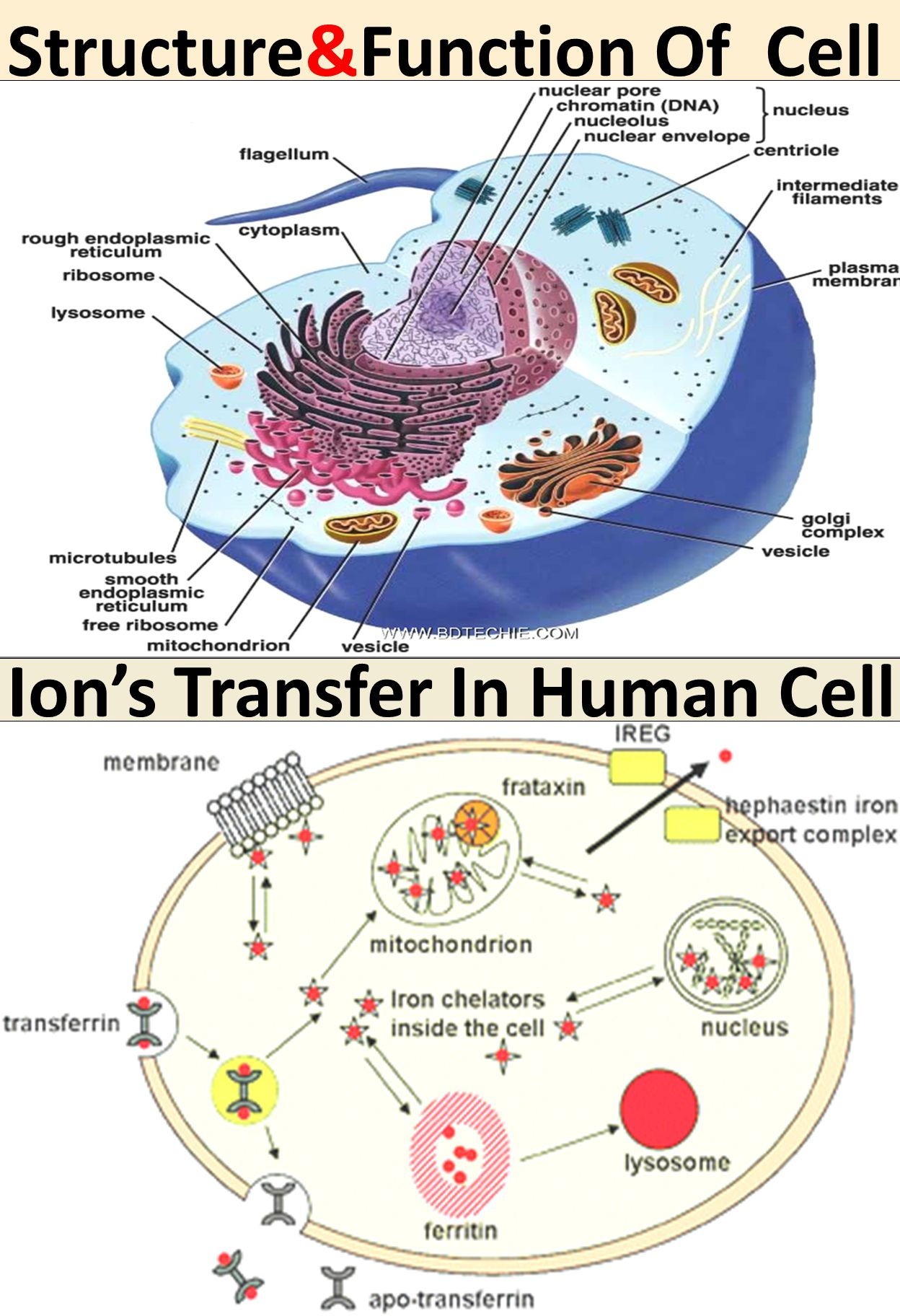 Ion's Transfer In Human Cell Structure&Function Of Cell